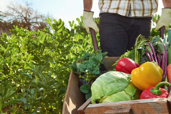 Feldbauer mit Schubkarre voller frisches Gemüse