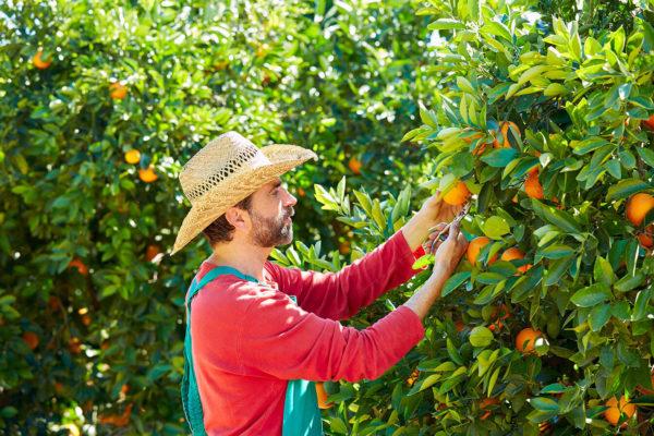Bauer überprüft Orangen
