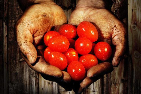 Tomaten in Händen als Herz